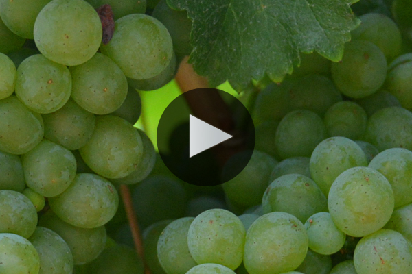 The Varieties of Napa Valley: Winemakers Discuss Top Grapes